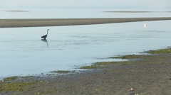 Great Blue Heron Low Tide Stock Footage