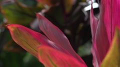 Maui plant with bright Colors and slight breeze Stock Footage