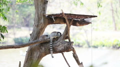 Lemur sitting on the tree - stock footage