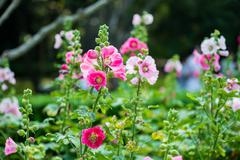 pink and white hollyhock flower - stock photo