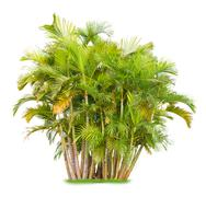 areca palm - stock photo