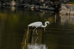 great white egret (ardea alba) fishing - stock photo