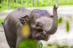 young indian elephant playing with dirty ground - stock photo