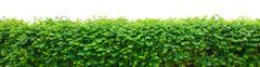 Green hedge Stock Photos