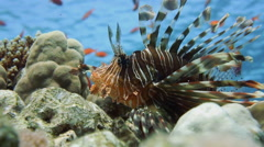 Lionfish on the coral reef underwater Stock Footage