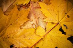 fallen yellow maple leaves on the ground - stock photo