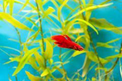 aquarium cockerel fish - stock photo