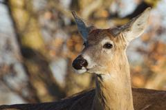 White tailed deer in the wild Stock Photos
