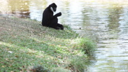 Stock Video Footage of Gibbon sitting beside a pool