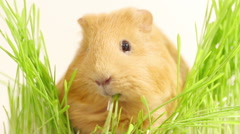 Golden guinea pig eating green grass on a white background, close-up Stock Footage