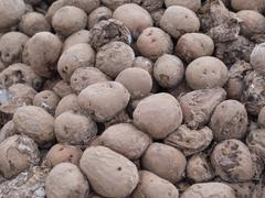 Dirty frozen rotting potatoes Stock Photos