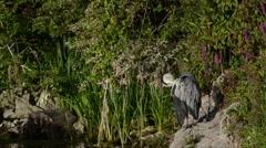 Grey heron, Ardea cinerea Stock Footage