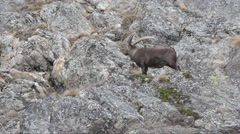 Ibex, Boquetin, Capra ibex, mammal, mountain, winter Stock Footage