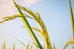 Young fresh rice crop close up Stock Photos