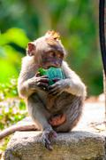 young long-tailed macaque monkey eating - stock photo