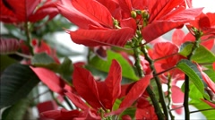 The red poinsettia on the window Stock Footage