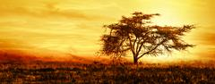 Big african tree silhouette over sunset Stock Photos