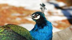 Closeup of Colorful Peacock's Head and Face Stock Footage