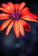 Red wet flower head Stock Photos