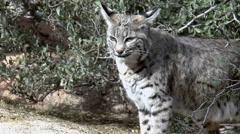 Bobcat Emerges From Arizona Desert Brush Stock Footage