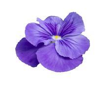 Pansy flower closeup Stock Photos