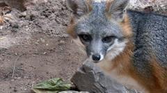 Grey Fox Chews Licks Lips Stock Footage