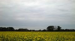 Sinapis alba meadow Stock Footage