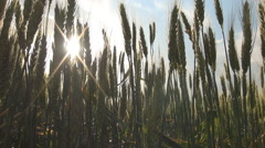 Cereal In Summer Season, Close Up Green Wheat Field. Countryside. Bio. Eco. - stock footage