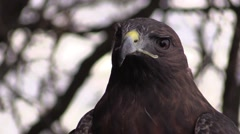 Red tailed hawk face Stock Footage