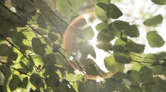 The sun shines through the leaves of the birch Stock Footage