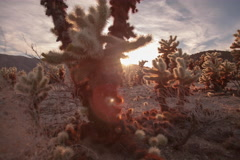 Cholla Garden Sunset (29.97) 422HQ 5k 16bit Stock Footage