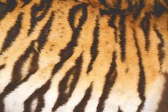 beautiful tiger real textured  fur with vintage effect - stock photo