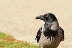 Hooded crow on a park alley, closeup ( corvus cornix ) Kuvituskuvat