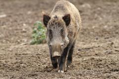Wild boar coming towards the camera ( sus scrofa ) Stock Photos