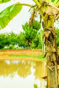 green organic cultivated bananas bunch on a tree in my backyard. - stock photo