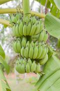 green organic cultivated bananas bunch on a tree in my backyard - stock photo