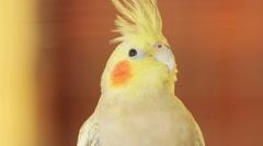 Cockatiel bird, close up Stock Footage