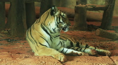 Siberian tiger (Penthera tigers altaica) laying down. - stock footage