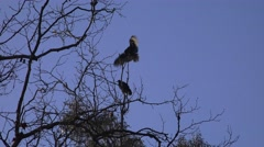 Vultures roost, life at the top - stock footage