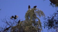Vultures roost, tall tree - stock footage