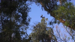 Vultures roost, tree with a view - stock footage