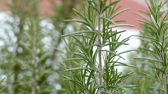 Rosemary - Close Up - stock footage