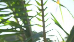 Dolly Tracking Shot Of Palm Branches - stock footage