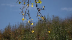 Tracking Shot Of Fall Day, Tree branch in swaying in the wind. Stock Footage