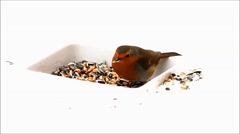 Robin bird, feeding winter fodder, white background, snow Stock Footage