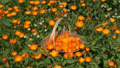 Marigold calendula medical flower herbs in wicker  basket Stock Footage