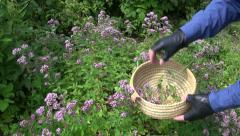Gardener farmer harvesting wild marjoram oregano medical flowers in garden Stock Footage