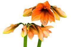 Blooming orange Amaryllis Stock Photos