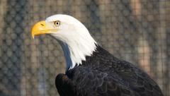 Closeup of Beautiful American Bald Eagle With Sound Stock Footage