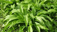 Wild garlic Stock Footage